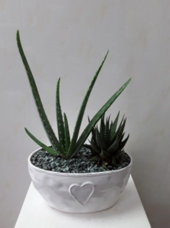 Aloe planted ceramic bowl