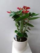 Larger Anthurium in pot