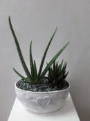 Aloe planted ceramic bowl